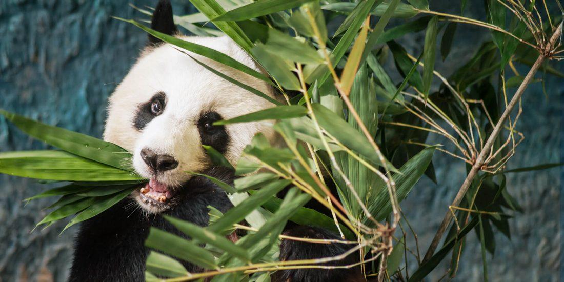 panda eucaliptus china